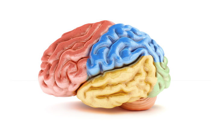 Four brain lobes diagram